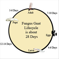 fungus gnat biological control