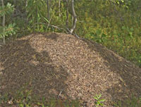 Harvester Ant mound