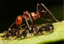 Allegheny Mound Ants