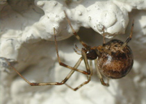 American House Spider
