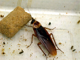 American Cockroach,American Cockroachs