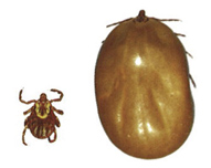 American Dog Tick, Dog Ticks, Dog Tick, Dog tick removal