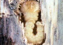 Flatheaded appletree borer Damage