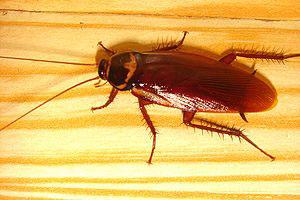 Asian cockroach, Asian cockroach elimination