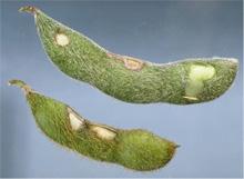 Bean leaf beetle Feeding