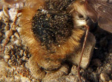 Bee flies Eggs