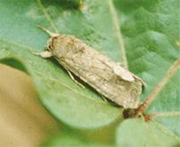 Beet armyworm adult