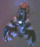 Blueberry Maggot