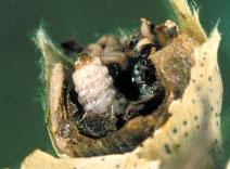 Boll Weevil Larva
