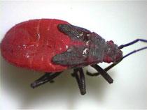 Boxelder Bugs nymph