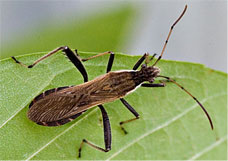 Broad Headed bugs