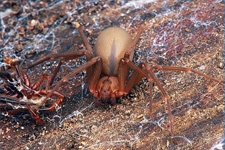 brown_recluse spider