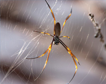 brown_recluse spiders