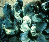Cabbage Aphid damage