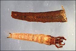 caddisfly-larvas