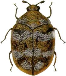 carpeet beetles