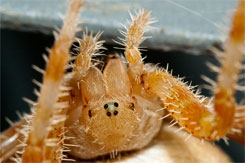 Cat Face Spider