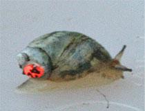 Chittenango Ovate Amber Snail