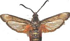 Clearwing Moths
