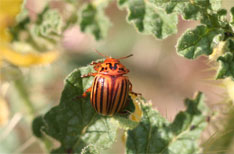 Colorado Potato Beetle Damage
