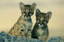 Eastern cougar cubs