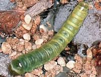 Cranberry Fruitworm Larvae