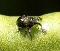 curculio Beetle