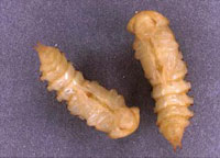 Darkling Beetle Larvae