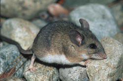 deer mice eradication