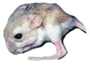 Desert Rodent