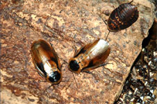 Discoid Cockroach