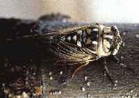 Dog Day Cicada