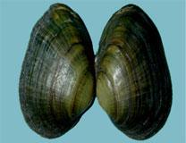 Dwarf Wedge Mussel