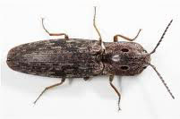Eastern Eyed Click Beetle