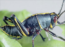 Eastern Lubber Grasshopper damage