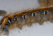 Eastern Tent Caterpillar Moths