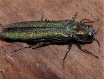 Emerald Ash Beetle