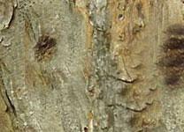 Engraver Beetle Damage