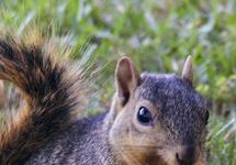 fox squirrel