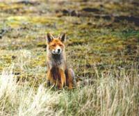 furbearer-fox