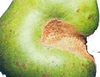 Green Fruitworms