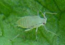 Green Peach Aphid