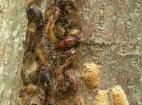 Gypsy Moth damage