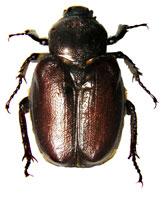 Hermit Flower Beetle