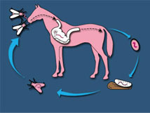 Horse Fly Life Cycle