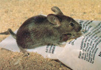 what do mice eat, how to get rid of mice