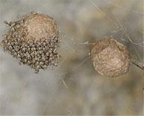House Spider Egg