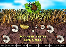 Japanese Beetle Damaged