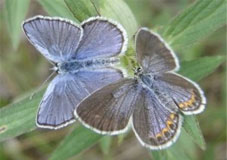 Karner Blue Butterflies