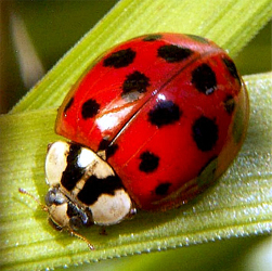 ladybugs, lady bugs, how to get rid of ladybugs